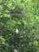 White Belly Sea Eagle